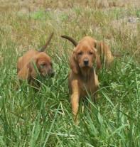 Timber Chopper Kennels Redbone Coonhounds